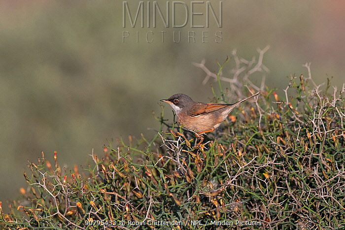Spectacled warbler (Sylvia conspicillata orbitalis), male perched in shrub,  Fuerteventura, Canary Islands, Spain. February.