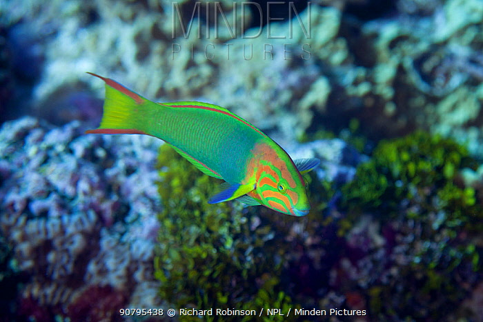 Sunset wrasse (Thalassoma lutescens) terminal phase at North Minerva Reef / Teleki Tokelau a disputed territory in the South Pacific between Tonga and Fiji.