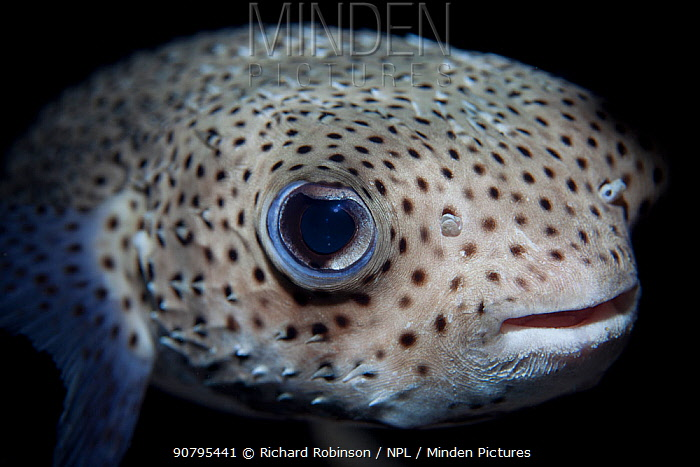 Spot-fin porcupinefish (Diodon hystrix) at North Minerva Reef / Teleki Tokelau a disputed territory in the South Pacific between Tonga and Fiji.