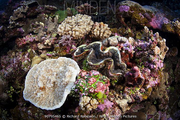 Giant Clam (Tridacna sp.) at North Minerva Reef / Teleki Tokelau a disputed territory in the South Pacific between Tonga and Fiji. January.