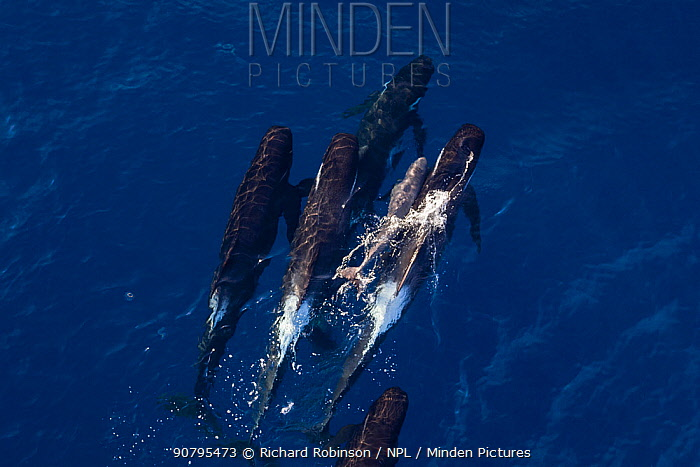 Aerial view of Long-finned pilot whale (Globicephala melas) pushing newborn calf to surface to breath, New Zealand.
