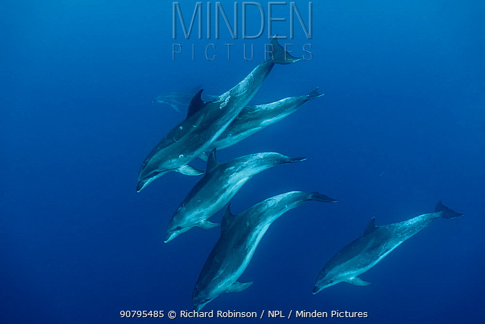 Pelagic Bottlenose dolphins (Tursiops truncatus) pod, Northern New Zealand.