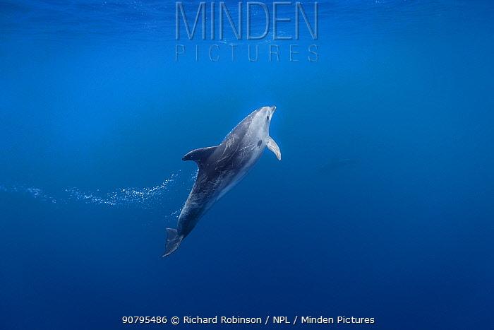 Pelagic Bottlenose dolphin (Tursiops truncatus) blowing bubbles, Northern New Zealand.