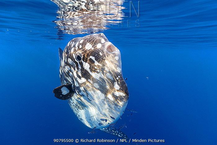 Bump-head sunfish (Mola alexandrini) with Pilotfish (Naucrates ductor) offshore, Northern New Zealand.
