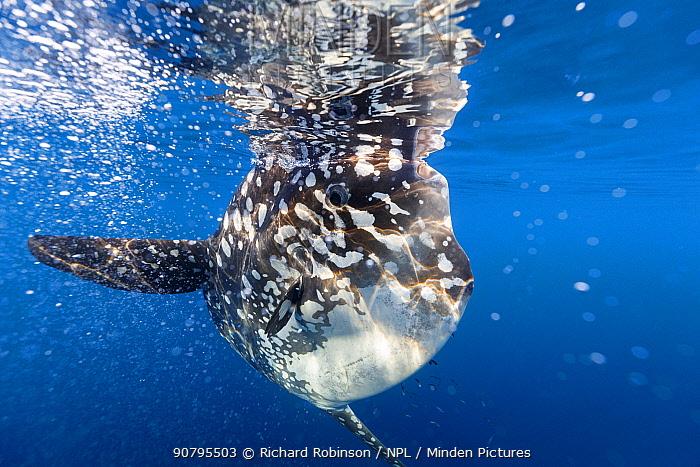 Bump-head sunfish (Mola alexandrini) offshore, Northern New Zealand.