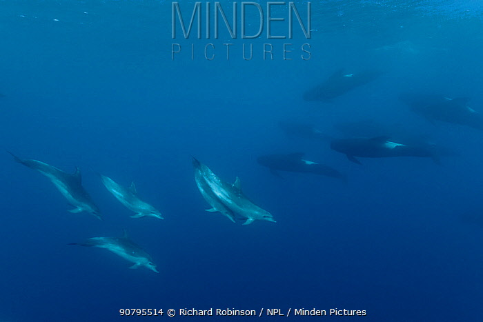 Long-finned pilot whales (Globicephala melas) with a pod of Pelagic Bottlenose Dolphins (Tursiops truncatus) offshore, Northern New Zealand.