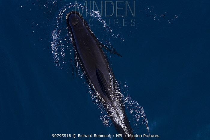 Long-finned pilot whales (Globicephala melas) offshore, Northern New Zealand. January.