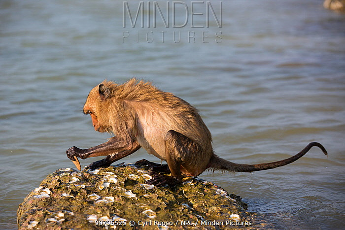 Long-tailed macaque (Macaca fascicularis) using stone to break open oysters. Koram island, Khao Sam Roi Yot National Park, Thailand.