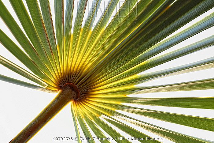 Silver thatch palm (Coccothrinax ekmanii) leaf. Hispaniola.