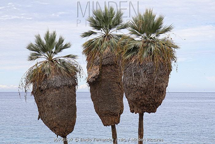 Ekmans silver palm(Copernicia ekmanii) trees overlooking Caribbean Sea, Hispaniola.