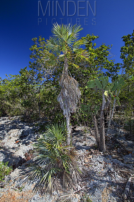 Silver thatch palm (Coccothrinax ekmanii), Hispaniola.