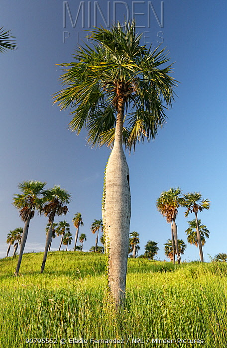 Guano palm (Coccothrinax spissa) trees in grassland, Hispaniola. October 2014.
