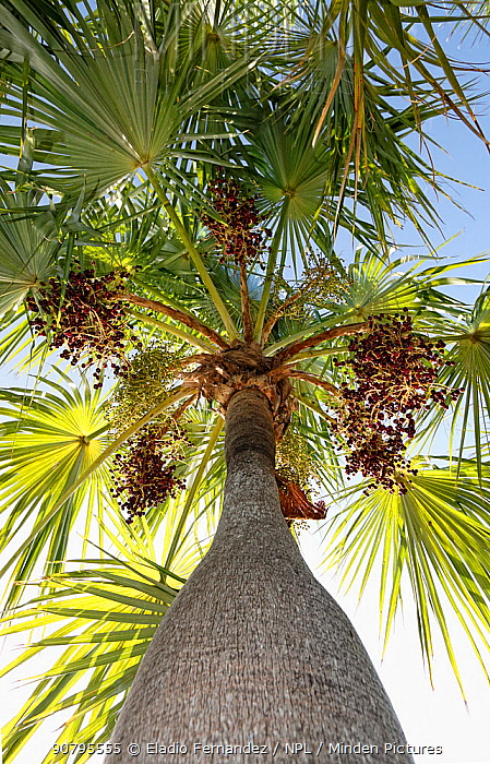 Guano palm (Coccothrinax spissa), Hispaniola.