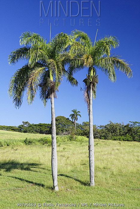 Puerto Rico royal palm (Roystonea borinquena), two palm trees under blue skies, Hispaniola. October 2014.