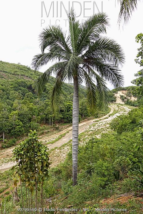Palmiste marron (Pseudophoenix lediniana) palm tree in tropical forest, Hispaniola. August 2014.