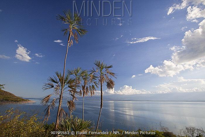 Palm trees (Coccothrinax jimenezii) on coast, Hispaniola.