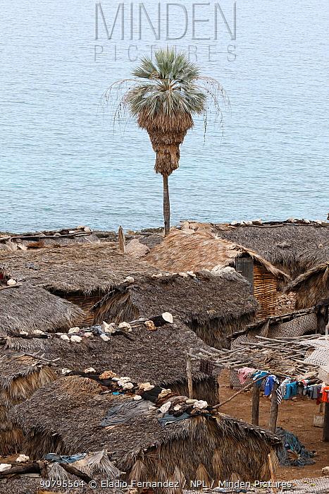 Ekman's silver palm (Copernicia ekmanii) in coastal settlement, Hispaniola. August 2014.