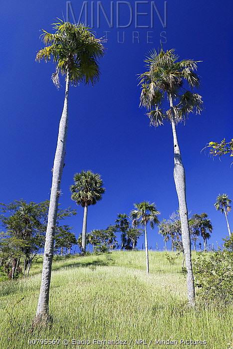 Guano palm (Coccothrinax fragrans) trees, Hispaniola.