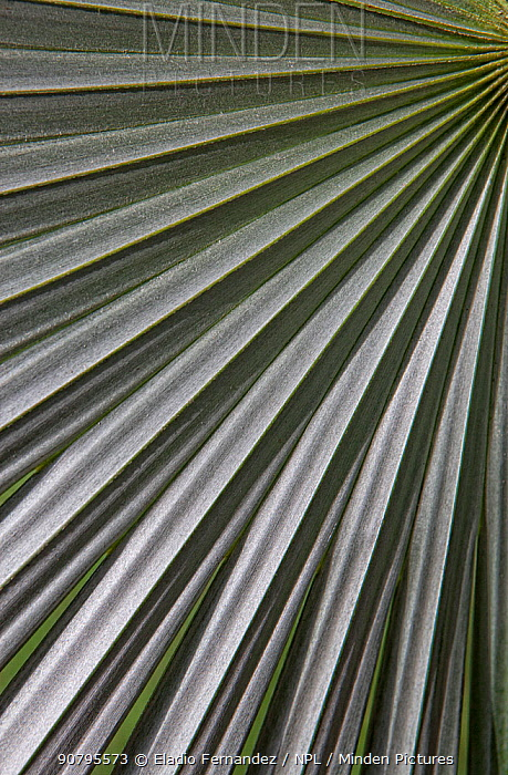 Hispaniola silver thatch palm (Coccothrinax argentea) leaf, Hispaniola.