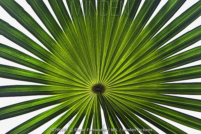 Hispaniola silver thatch palm (Coccothrinax argentea) leaf, Hispaniola.