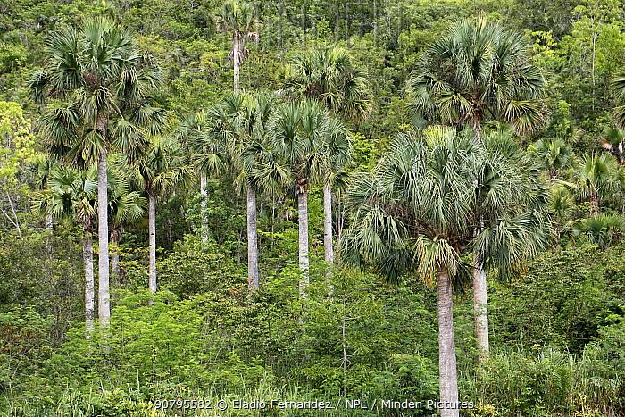 Hispaniola palmetto (Sabal domingensis) trees, Hispaniola. August 2014.