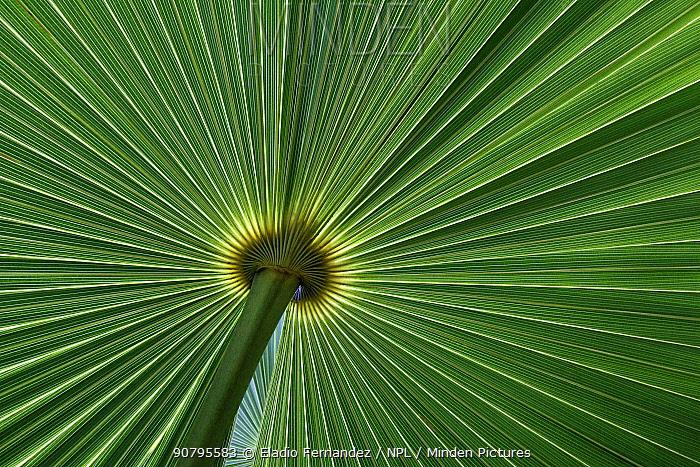 Zombie palm (Zombia antillarum) leaf. Hispaniola.