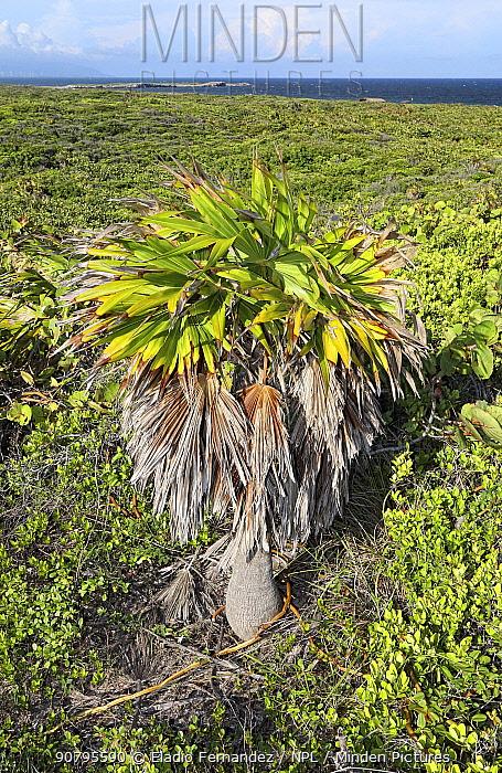 Green thatch palm (Thrinax radiata) standing above surrounding vegetation with Caribbean Sea in background, Hispaniola. September 2014.