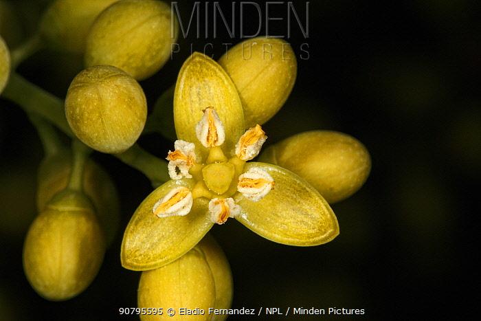 Buccaneer palm (Pseudophoenix sargentii) flower close-up. Hispaniola.