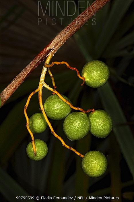 Zombie palm (Zombia antillarum) fruit close-up. Endemic to Hispaniola. Hispaniola.
