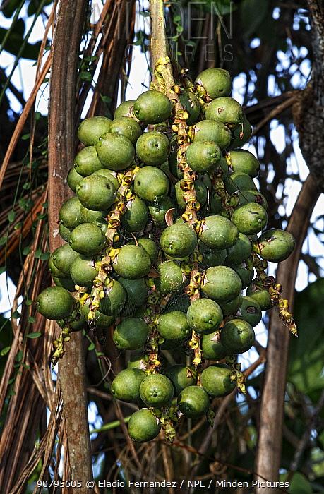 Giant windowpane palm (Reinhardtia paiewonskiana) fruits. Endemic to Dominican Republic, Hispaniola.