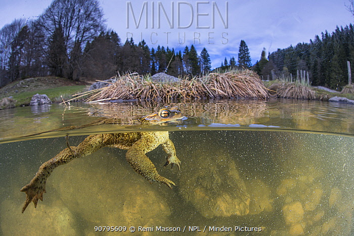 Split level view of Common toad male (Bufo bufo) waiting for a female during the mating season in lake, Ain, Alps, France. April.