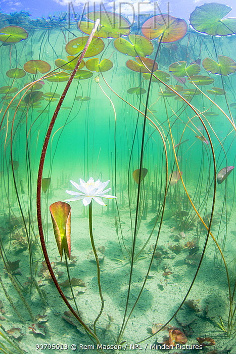 Waterlily (Nymphaea alba) flower which has opened underwater in a lake. Alps, Ain, France, June.