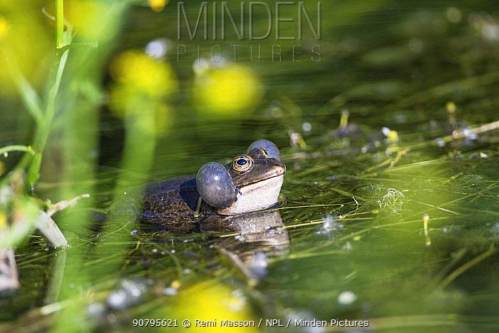 Edible frog (Pelophylax kl. esculentus) singing in a pond, in spring. Isere, Cremieu, France, April.