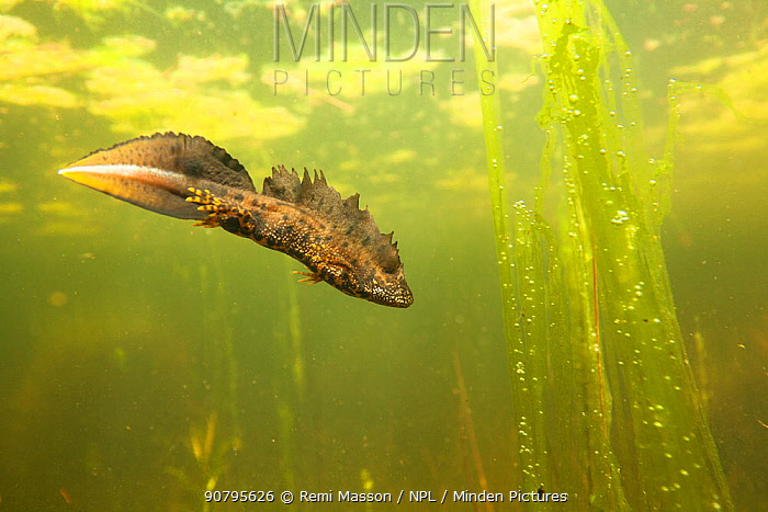 Northern crested newt (Triturus cristatus) male underwater in a pond, during the mating season. Isere, Cremieu, France, April.