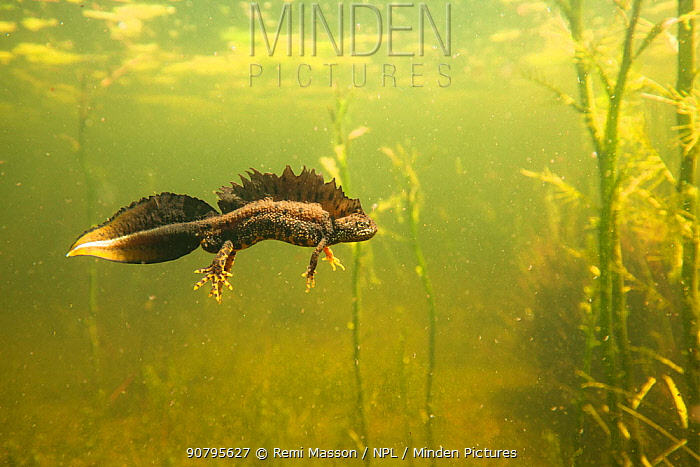 Northern crested newt (Triturus cristatus) male underwater in a pond, during the mating season. Isere, Cremieu, France
