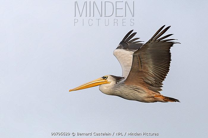 Pink-backed pelican (Pelecanus rufescens), Allahein river, Kartong, Gambia.