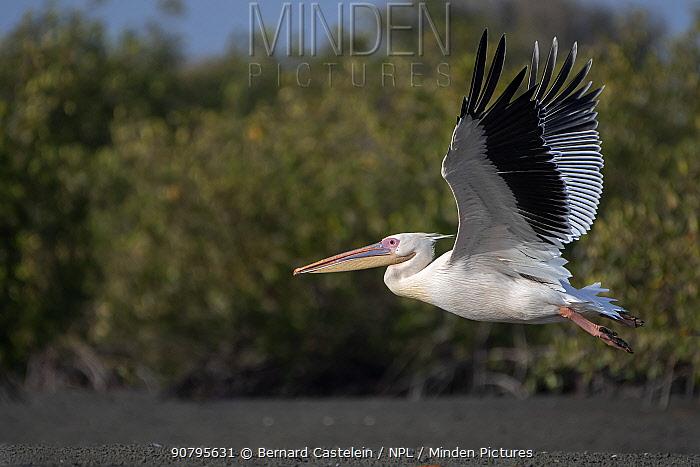 Great white pelican (Pelecanus onocrotalus) in flight over Allahein river, Kartong, Gambia.