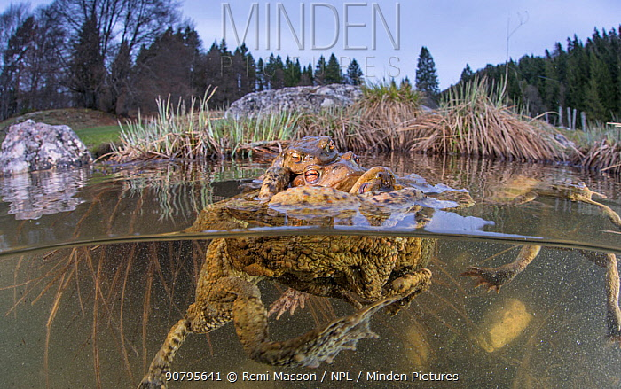 Split level view of Common toads (Bufo bufo) in a pond during the mating season at spring, Ain, Alps, France, April.