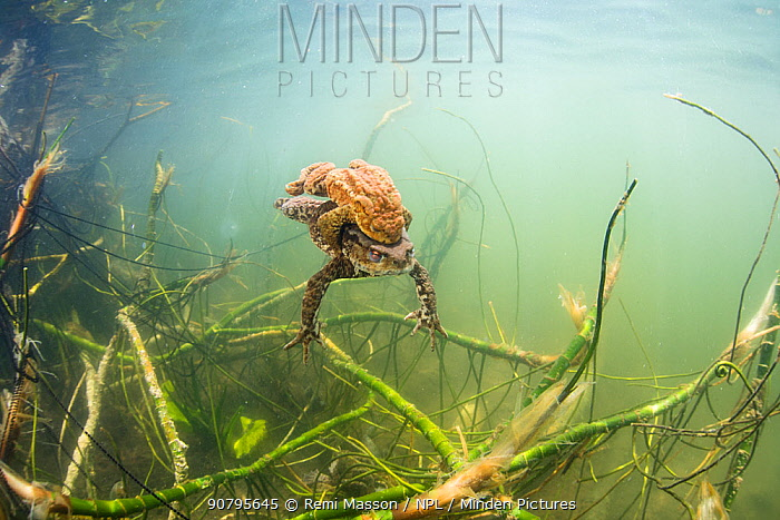 Common toads (Bufo bufo) mating pair swimming underwater in a lake. Ain, Alps, France, April.