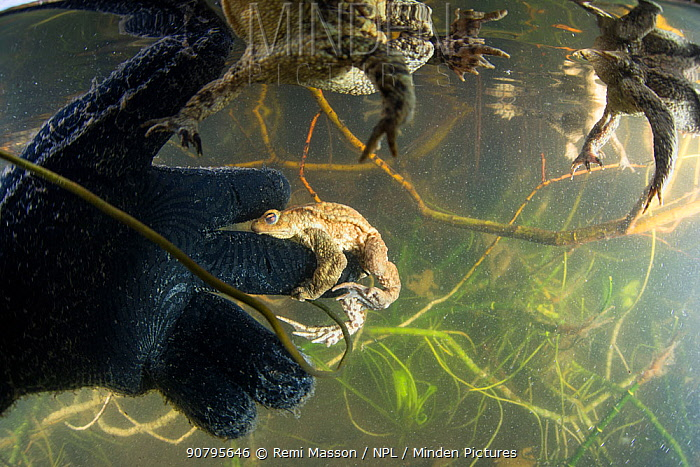 Common toad (Bufo bufo) trying to mate with the glove of a diver during the mating season in spring. Ain, Alps, France, April.