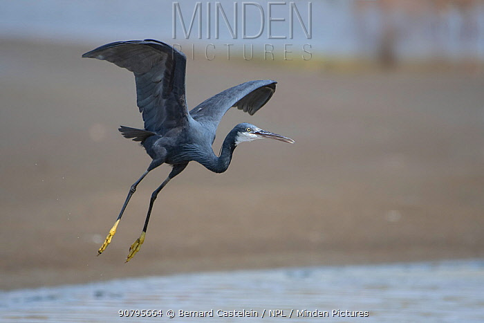 Western reef egret (Egretta gularis) taking off into flight, Gambia.