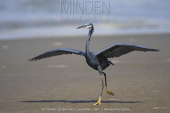 Western reef egret (Egretta gularis) taking off, Gambia.