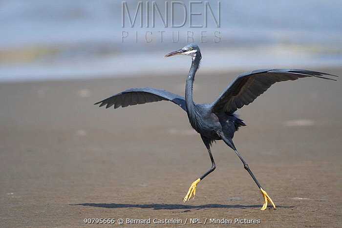 Western reef egret (Egretta gularis) taking off, Gambia.
