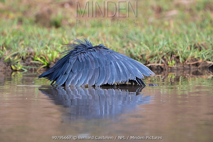 Black egret (Egretta ardesiaca) forming wings into umbrella whilst fishing, Gambia.