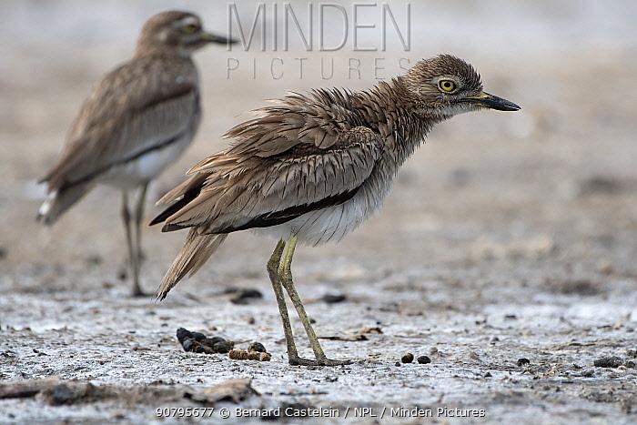 Senegal thick-knee (Burhinus senegalensis), Gambia.
