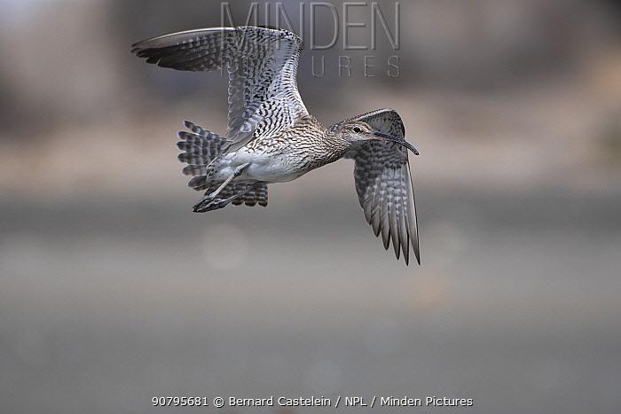 Whimbrel (Numenius phaeopus) in flight, Gambia.