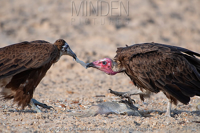 Hooded vulture (Necrosyrtes monachus), adult and juvenile fighting over fish, Gambia.