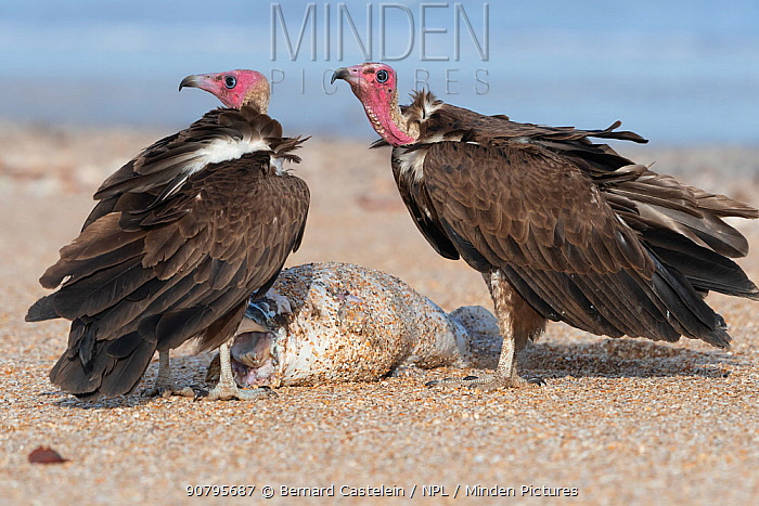 Hooded vulture (Necrosyrtes monachus), two standing with fish, Gambia.