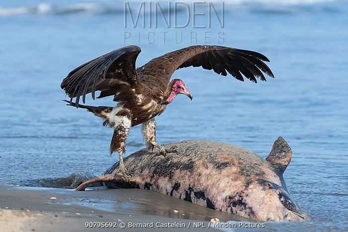 Hooded vulture (Necrosyrtes monachus), juvenile standing on dolphin washed up on beach, Gambia.