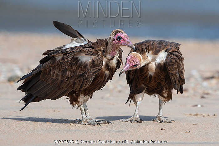 Hooded vulture (Necrosyrtes monachus), two standing on beach, Gambia.
